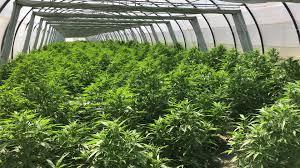 Buy Legal Cannabis Shop (Cannabis Legale Shop)of the best quality